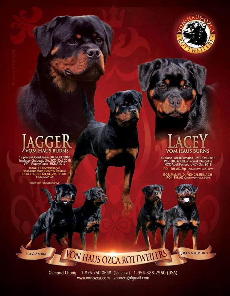Von Ozca Rottweilers Osmond Chong 1 876 750 0648 Jamaica 1 954