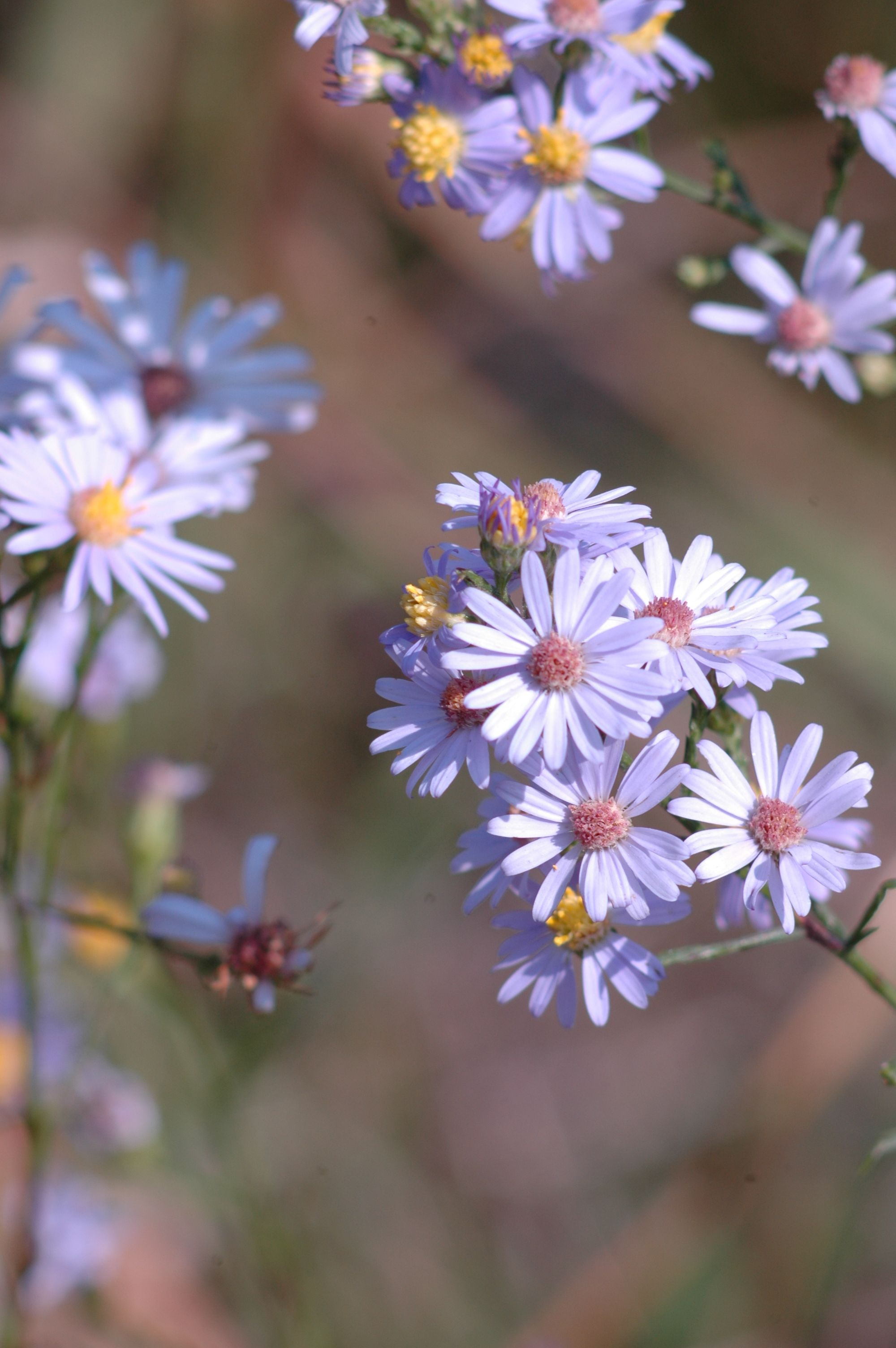 Sky blue aster flowers pinterest flowers plants and perennials aster azureus full to part sun medium to dry moisture level tolerates a range of soils including clay 3 ft height blooms in fall blue flowers izmirmasajfo