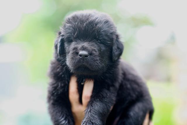 Meet Sawyer Male AKC Newfoundland puppy (Minneapolis