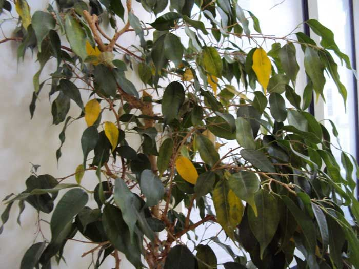 Oncologist Puts Dying Ficus Tree On Palliative Chemo Https Gomerblog Com 2017 09 Oncologist Puts Dying Ficus Tree On Palli Ficus Benjamina Ficus Tree Ficus