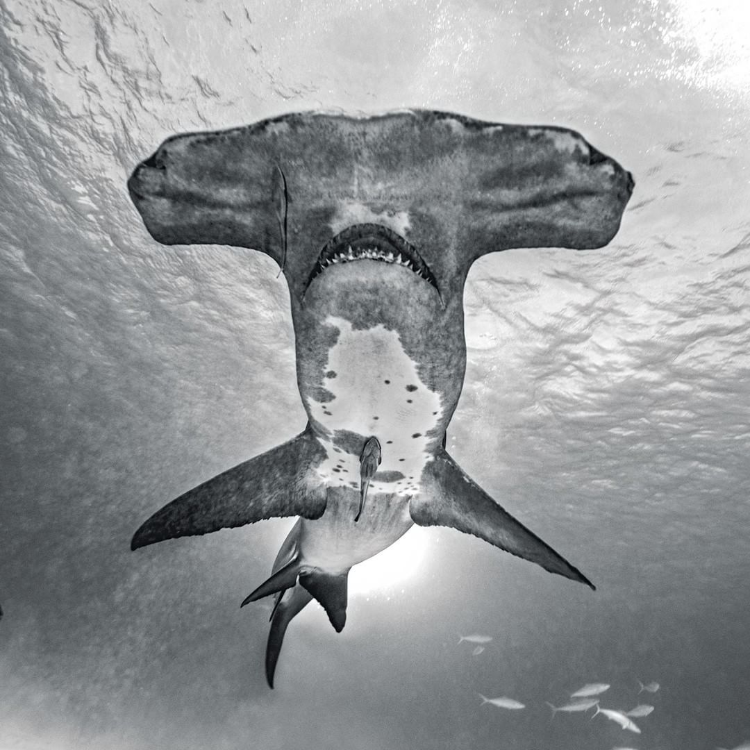 FacetoFace with the Ocean's Endangered Predator