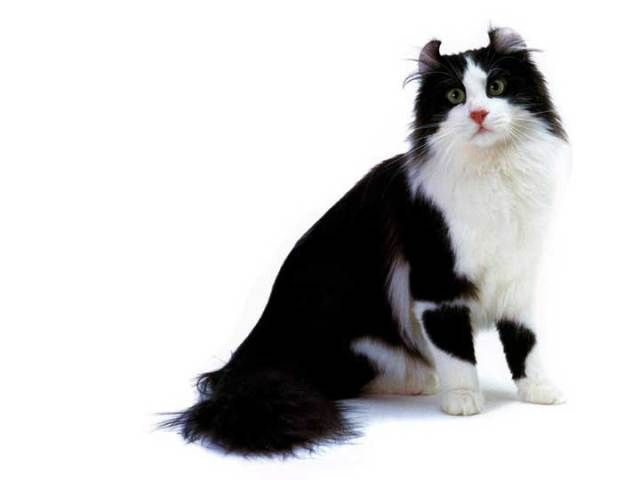 Tuxedo Cat Facts And Personality Tuxedo Cat Breed Mavi Rus
