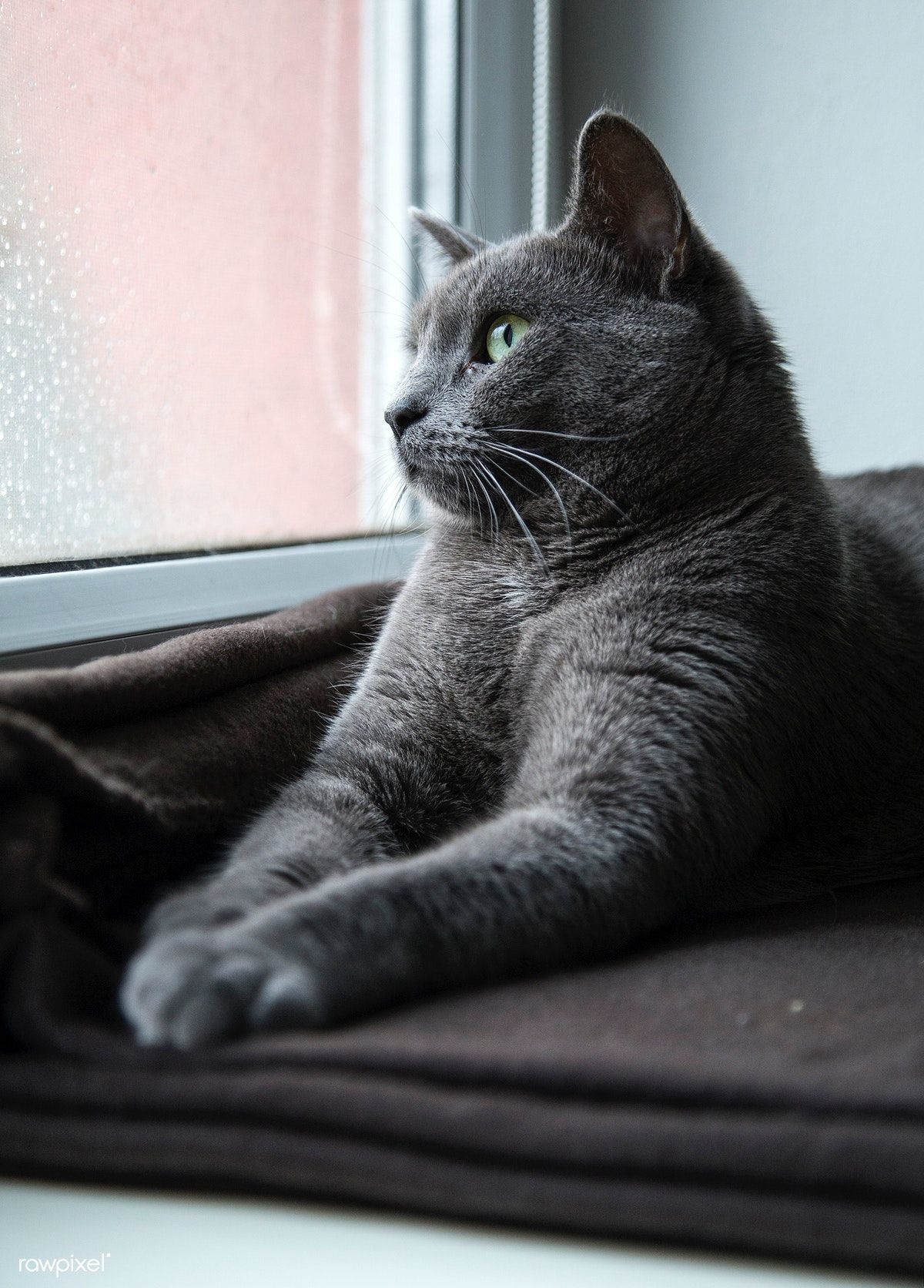 Grey Domestic Cat Looking Out The Window Free Image By Rawpixel Com Milada Vigerova Domestic Cat Cat Design Illustration Cats Illustration