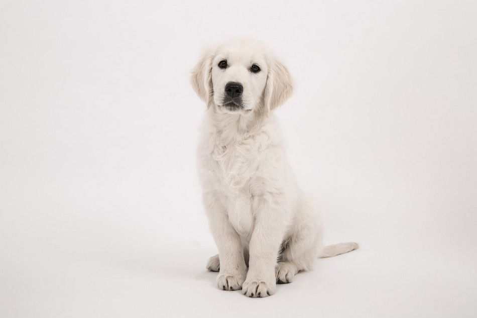 Golden Retriever In An Apartment Is It Doable Baby Dogs