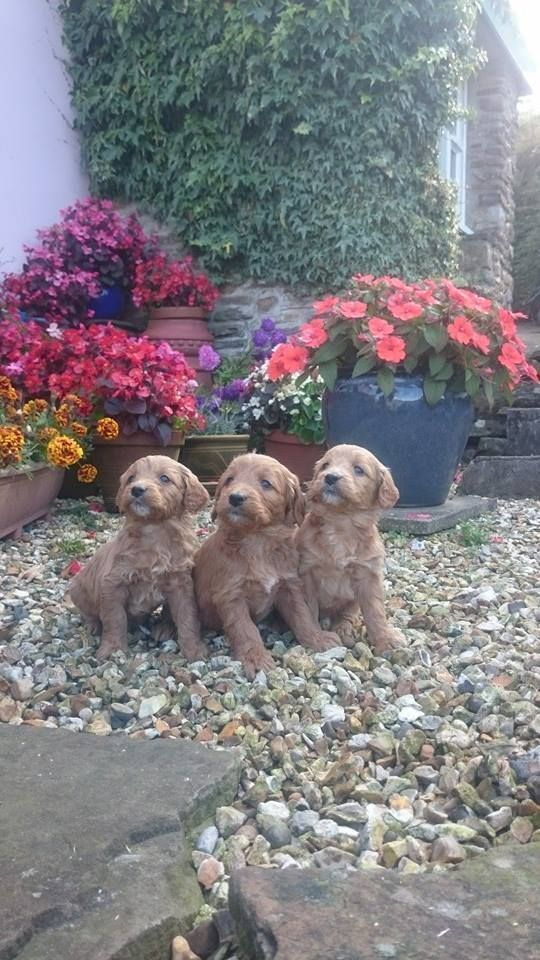 3 Adorable Miniature Goldendoodle Pups For Sale Puppies For Sale