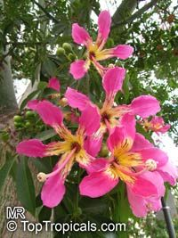 Chorisia Speciosa Ceiba Speciosa Silk Floss Tree Bombax Click To See Full Size Image Trees To Plant Flowering Trees Ornamental Trees