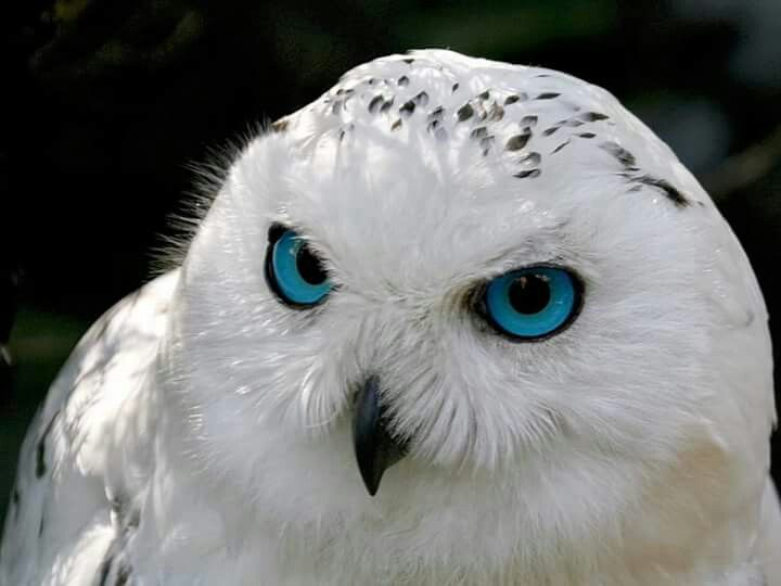 Gorgeous snowy Owls