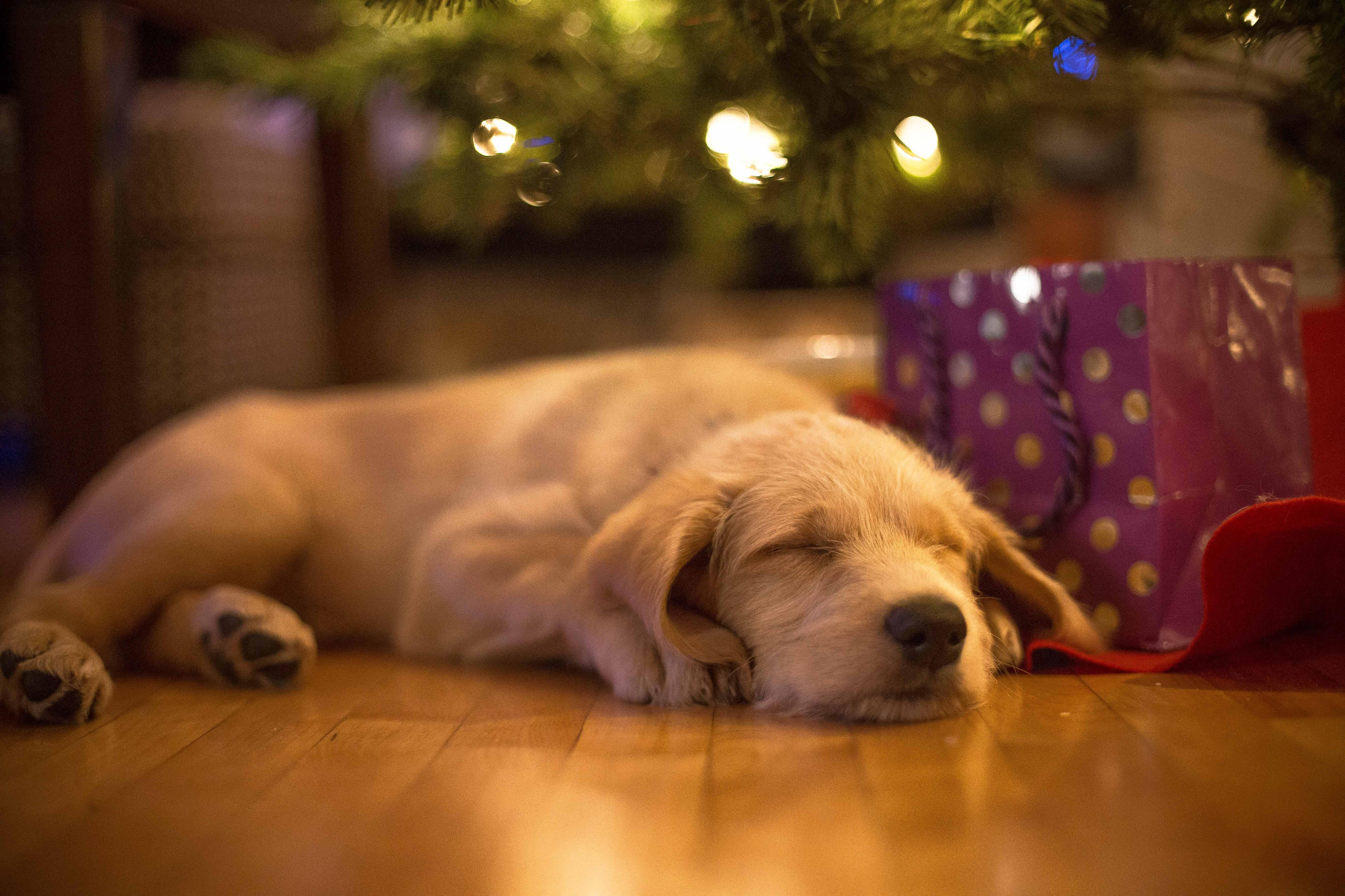 This New Puppy Fell Asleep Under The Christmas Tree Http Ift Tt