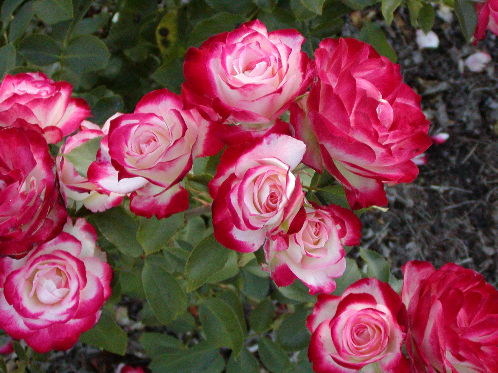 Cherry Parfait Rose Grandiflora. looks like DD but no