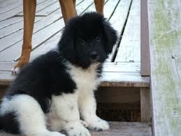 Landseer Newfoundland Puppies Google Search Newfoundlands