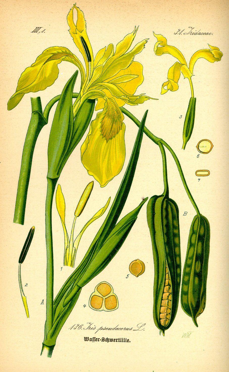 Gele Lis Iris Pseudacorus Vintage Iris Botanische Tekeningen