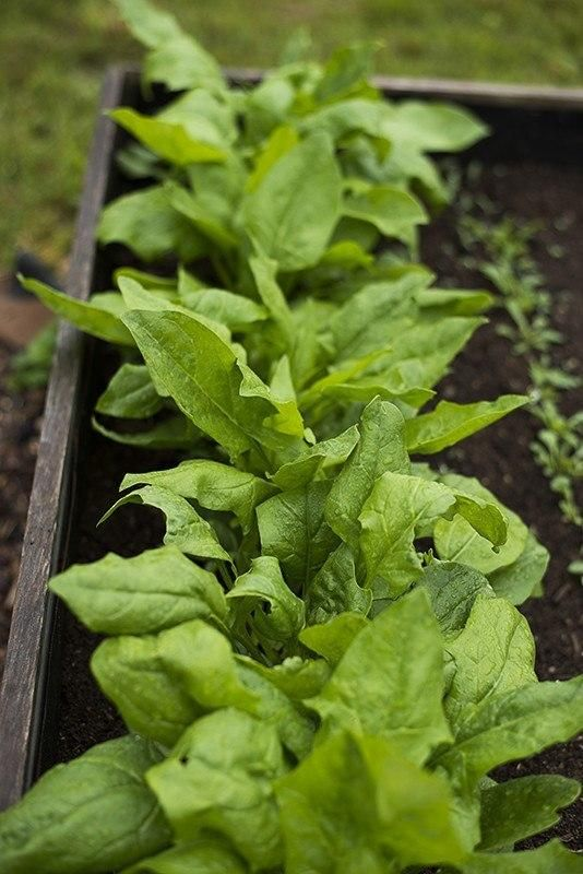 Dash Spinach F1 Hybrid 39 Days Spring Crops Germination Biodegradable Products