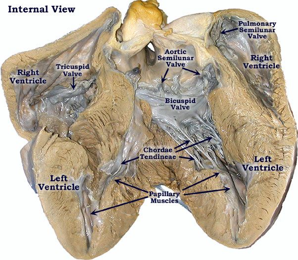 Photo of the Pig Heart-Interior View | Anatomy & Physiology | Pinterest