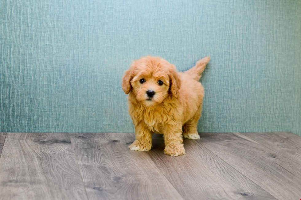 Cavapoo Puppies Ohio Cavoodles For Sale Online Cavapoo Puppies