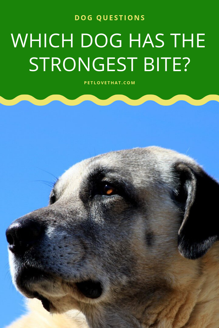 Top 10 Dog Breeds Which Dog Has The Strongest Bite With Images