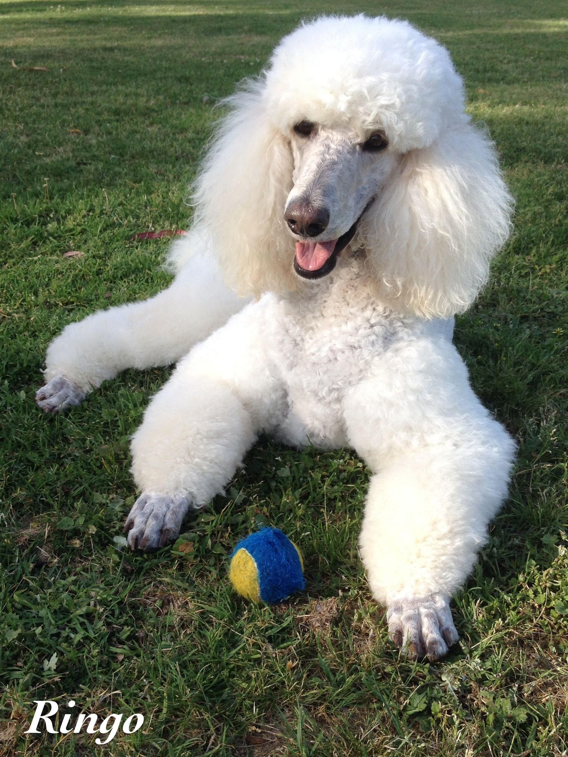 Ringo Me And My Squeaky Ball We Love Each Other Poodle Dog
