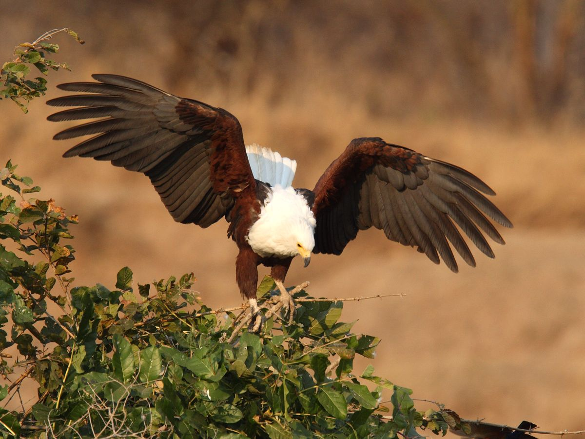 wings with pictures | Adult African Fish-Eagle just landed in tree, wings spread