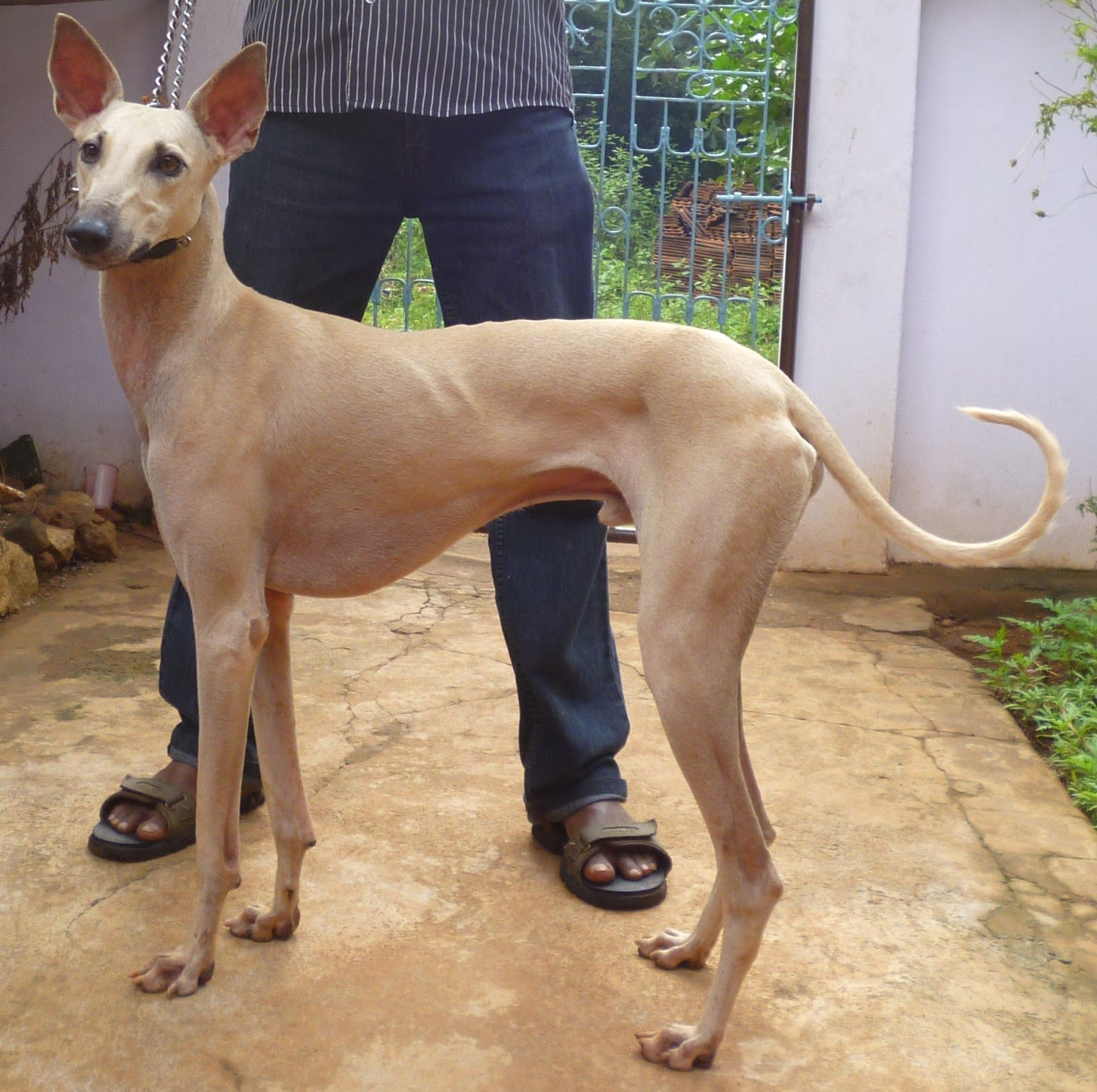 10 Interesting Dog Breeds That Originated In India Dogs
