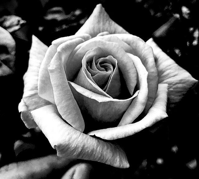 Pin By Vega On Realism Realistic Rose Tattoo Rose Flower Tattoos Black And White Roses