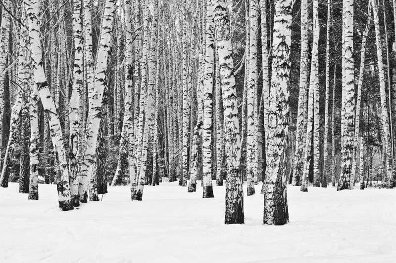 Картинки по запросу фото березы зимой | Лесные обои ...