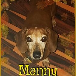 Green Cove Springs, FL Dachshund. Meet Manny a Dog for
