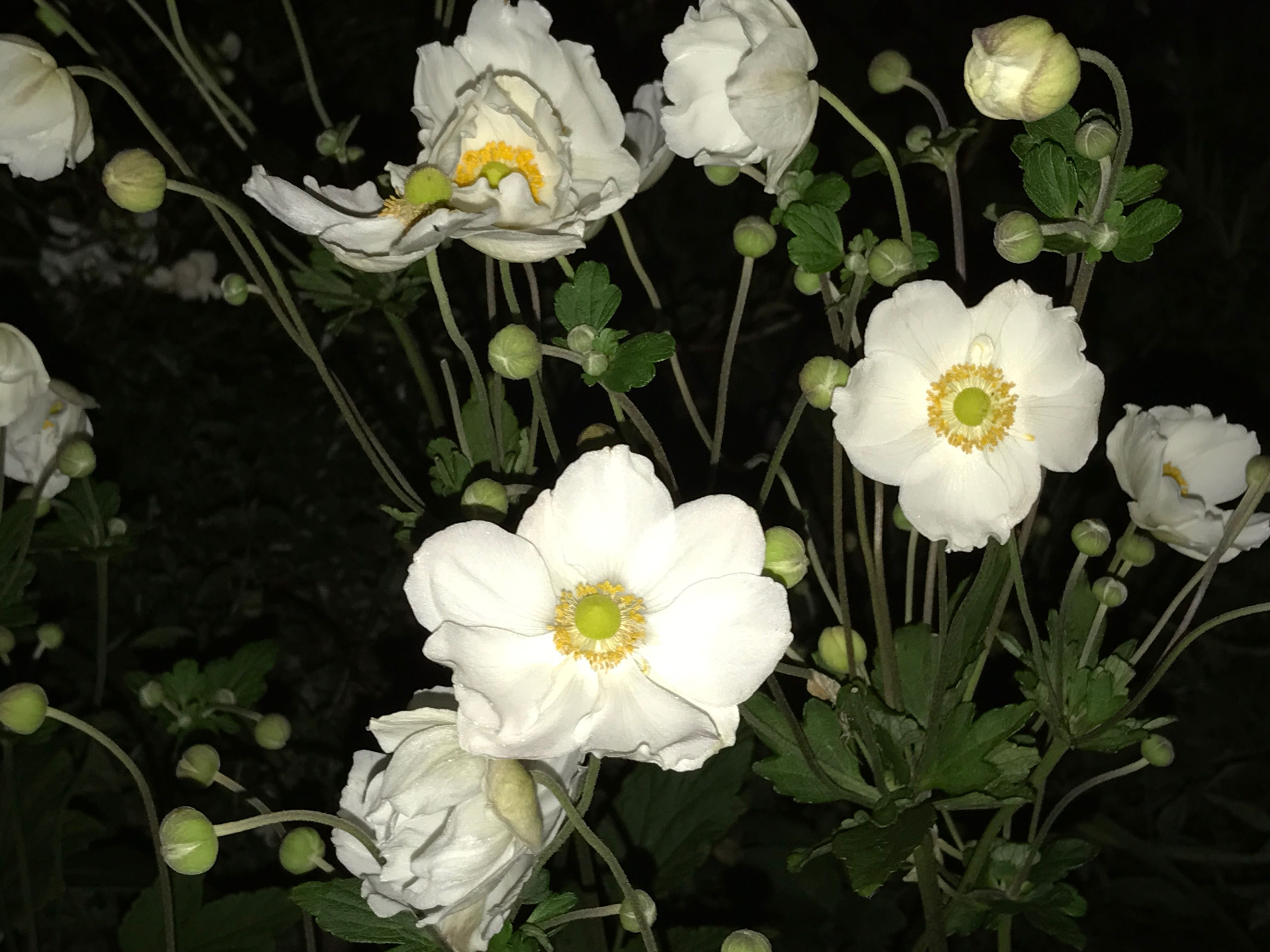 Fall Flower White Anemone Japonica St Honore At Night