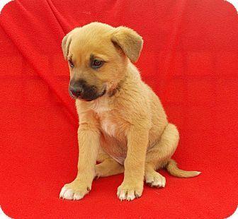 richmond, VA German Shepherd Dog/Labrador Retriever Mix
