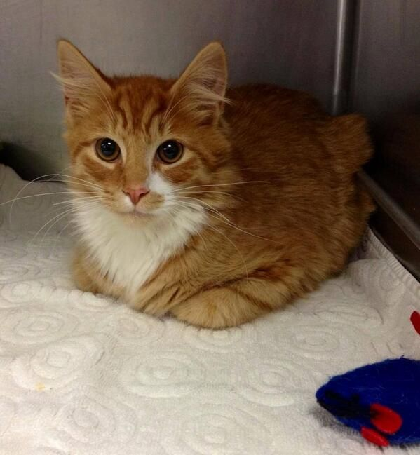 FOUND CAT! Female, young. Cupsaw Lake area RINGWOOD. Reclaim Bloomingdale Animal Control 973-838-8959