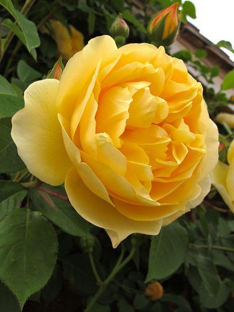 Fiori Gialli Gardenia.Graham Thomas Rose Fiori Rose Fiori Y Giardini Di Casa