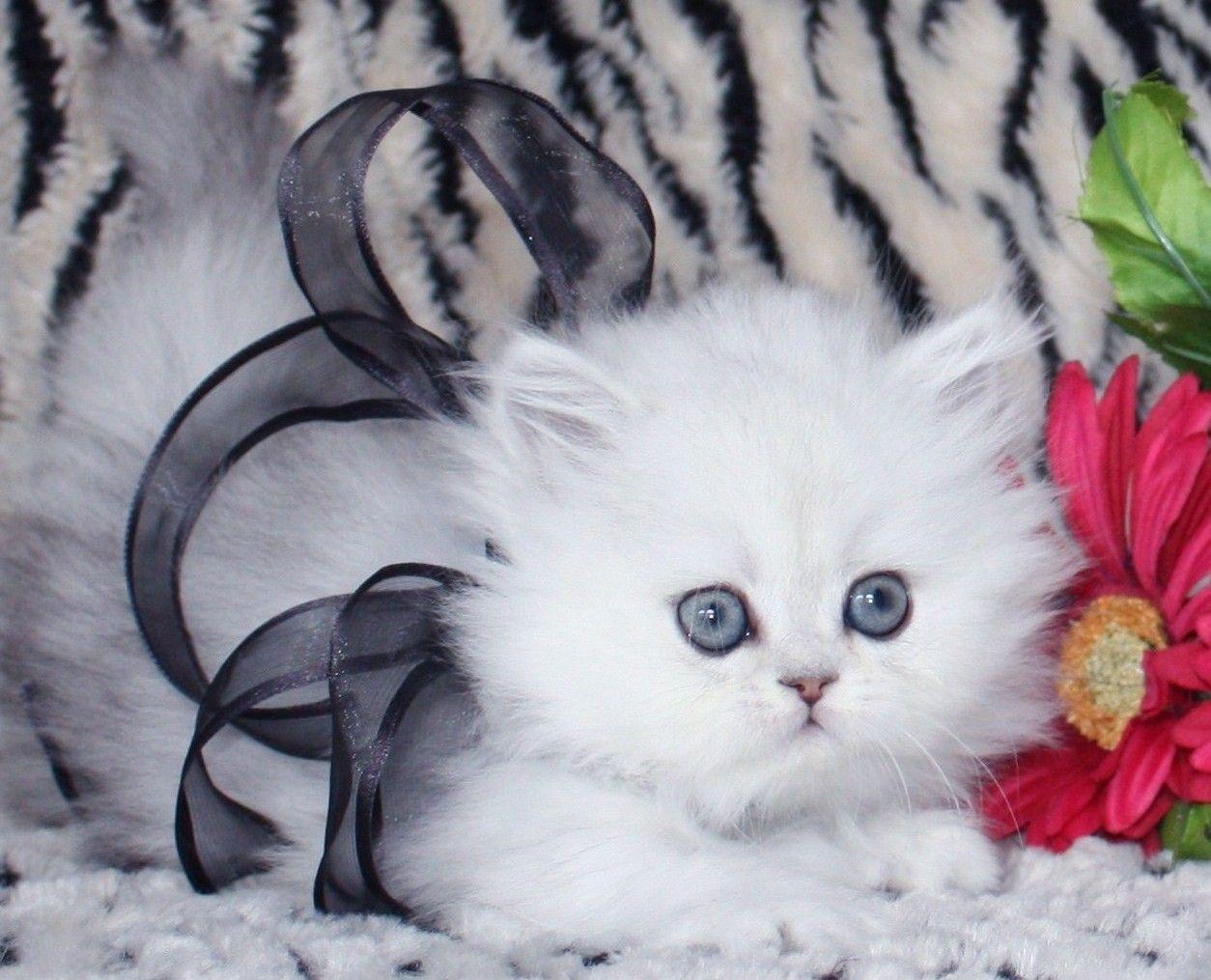 Teacup Persian Kitten Teacup Persian Kittens Persian Kittens Teacup Persian Cats