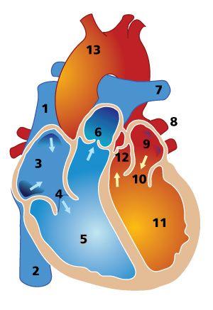 Heart anatomy diagram | Heart anatomy, Anatomy and ...