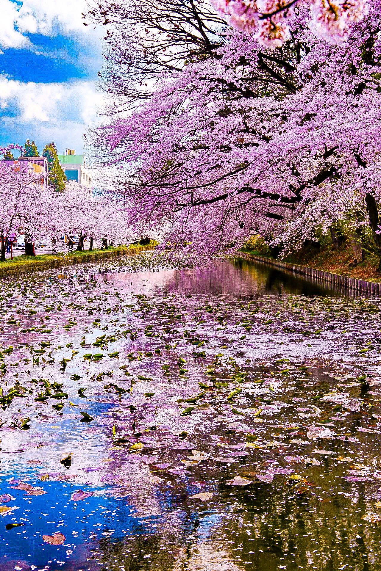 Cherry Blossom In Japan Photographer Nature Pictures Beautiful Nature Nature