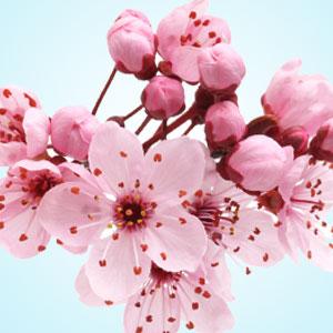Japanese Cherry Blossom Fragrance Oil Japanese Cherry Blossom Cherry Blossom Fragrance Japanese Cherry