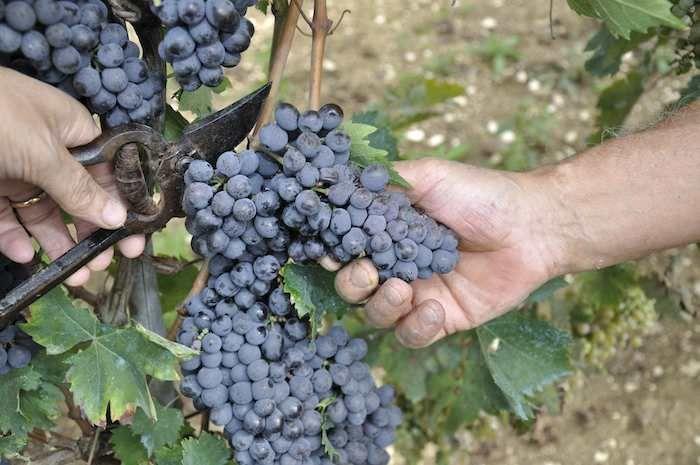 Grape picking in Umbria