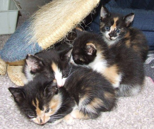 Litter Of Calico Kittens Feline Pet Calico Kitten Cute Cats