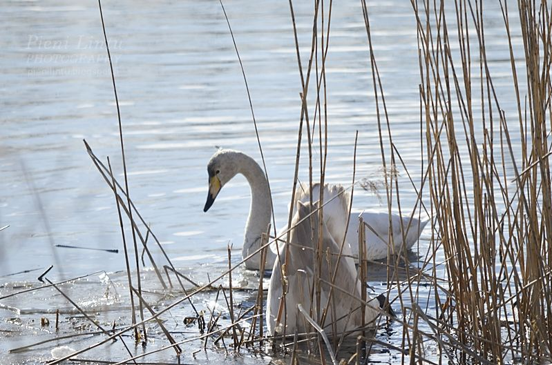 Swans in March