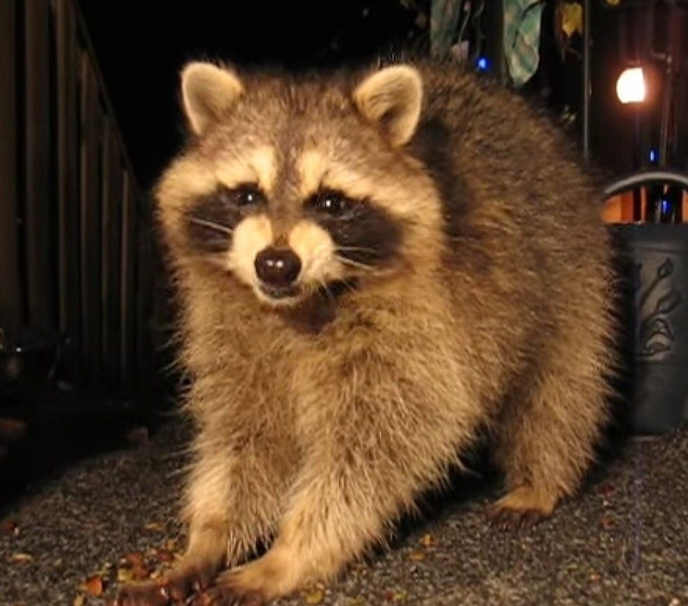 Pls Don T Bully Me I M Start Cryin Cute Animal Pictures Cute Raccoon Cute Animals