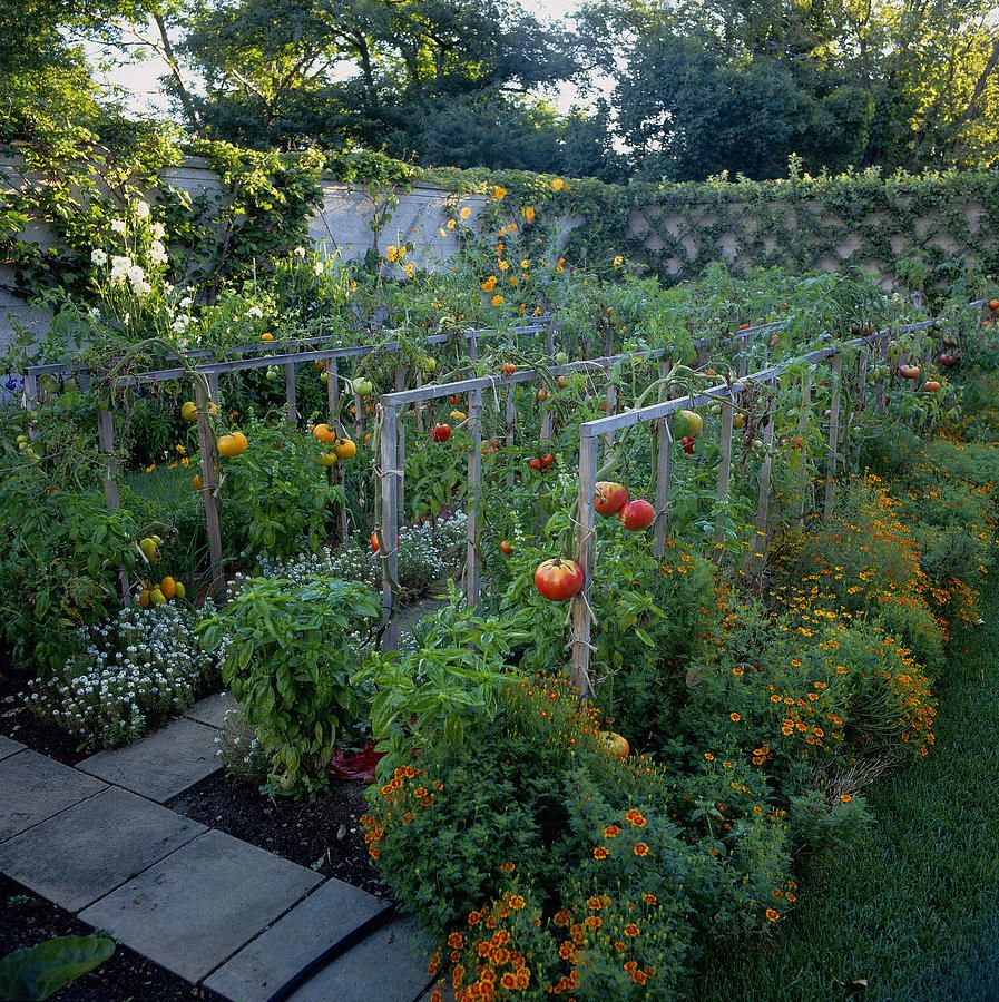 Vegetable Garden With Tomatoes Solanum is part of Vegetable garden design, Tuscan garden, Garden layout vegetable, Potager garden, Vegetable garden, Garden layout - Image provided by Getty Images
