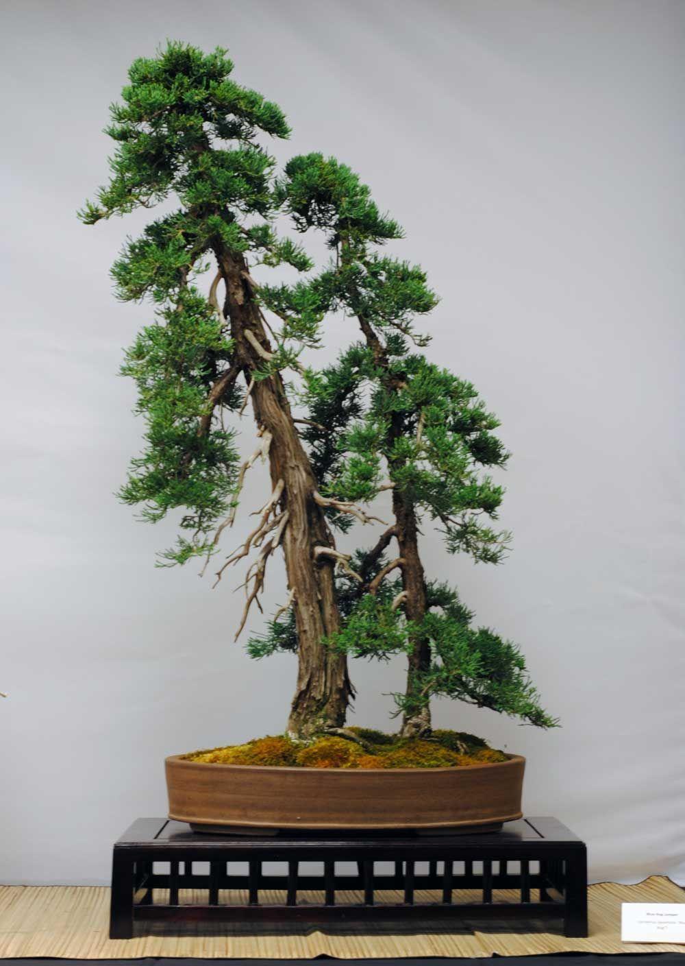 Twin Conifer Bonsai Very Nice Bonsai Tree Types Bonsai Bonsai Art