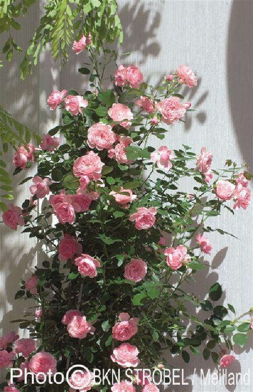 rosa 39 mini eden rose 39 te koop bij kwekerij de border. Black Bedroom Furniture Sets. Home Design Ideas
