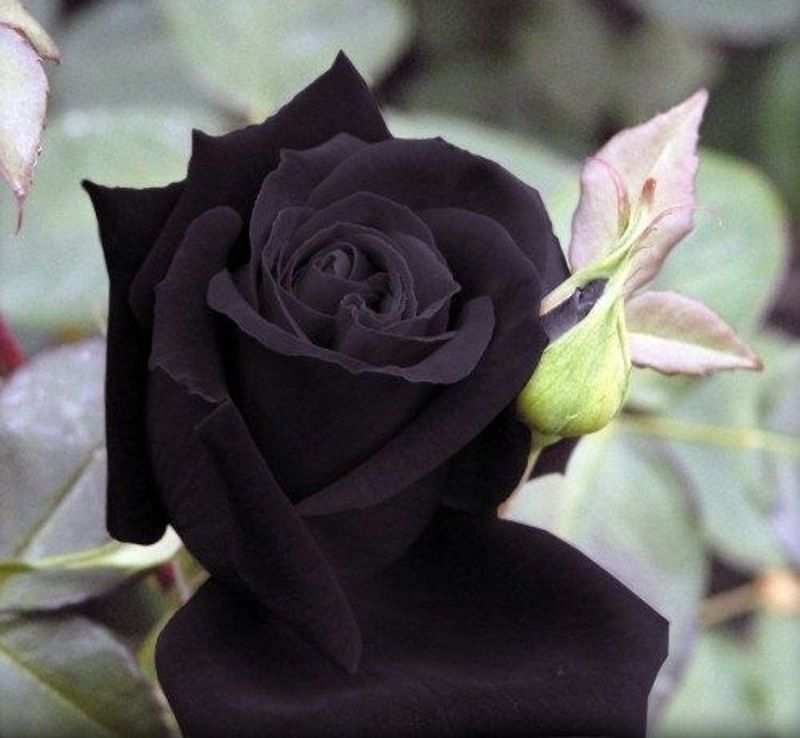 how to grow black roses from seeds