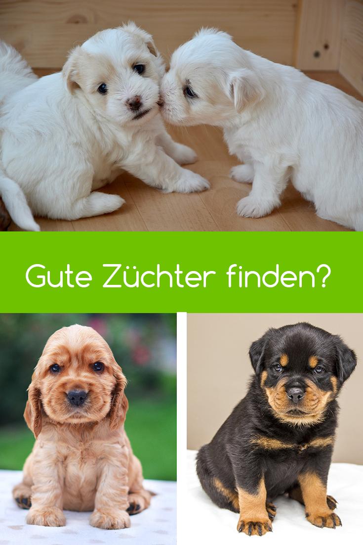 Wie Finde Ich Den Richtigen Hunde Zuchter Hunde Basset Hund Und Hunderassen