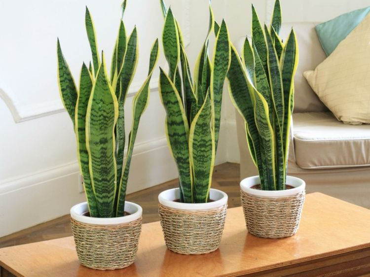 exotische wohnzimmer zimmerpflanzen bogenhanf couchtisch dekorieren - Wohnzimmer Pflanzen Schattig