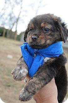 Glastonbury Ct Shih Tzu Boston Terrier Mix Meet Alexander A Puppy For Adoption Http Www Adoptapet Com Pet 1249665 Puppy Adoption Puppies Pets