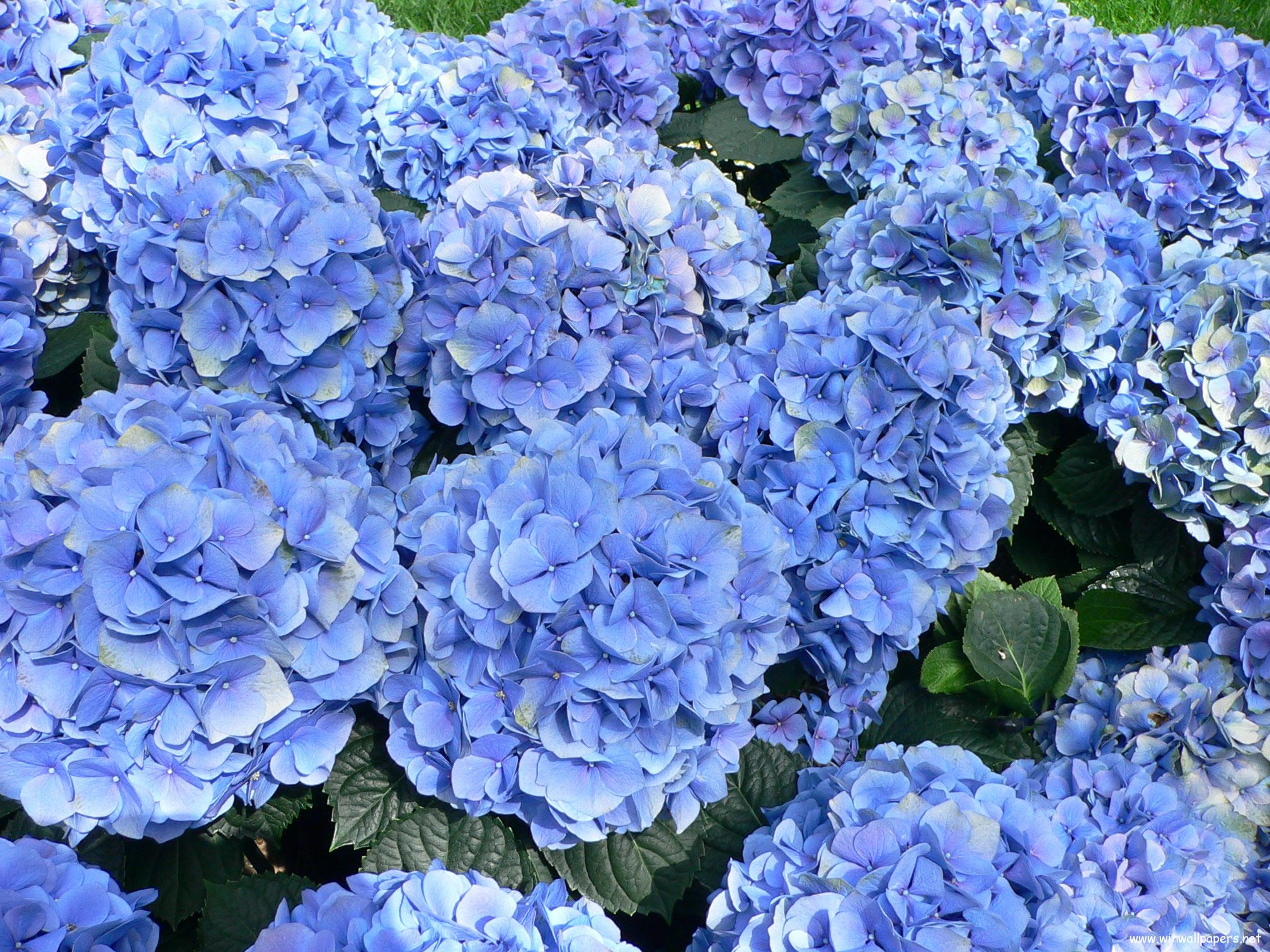 Hydrangeas...love them but they don't love the yard I have now...need plenty of shade with morning sun..especially in the South.
