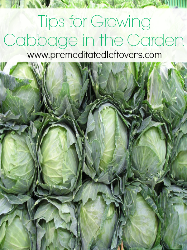 Tips for Growing Cabbage in Your Garden