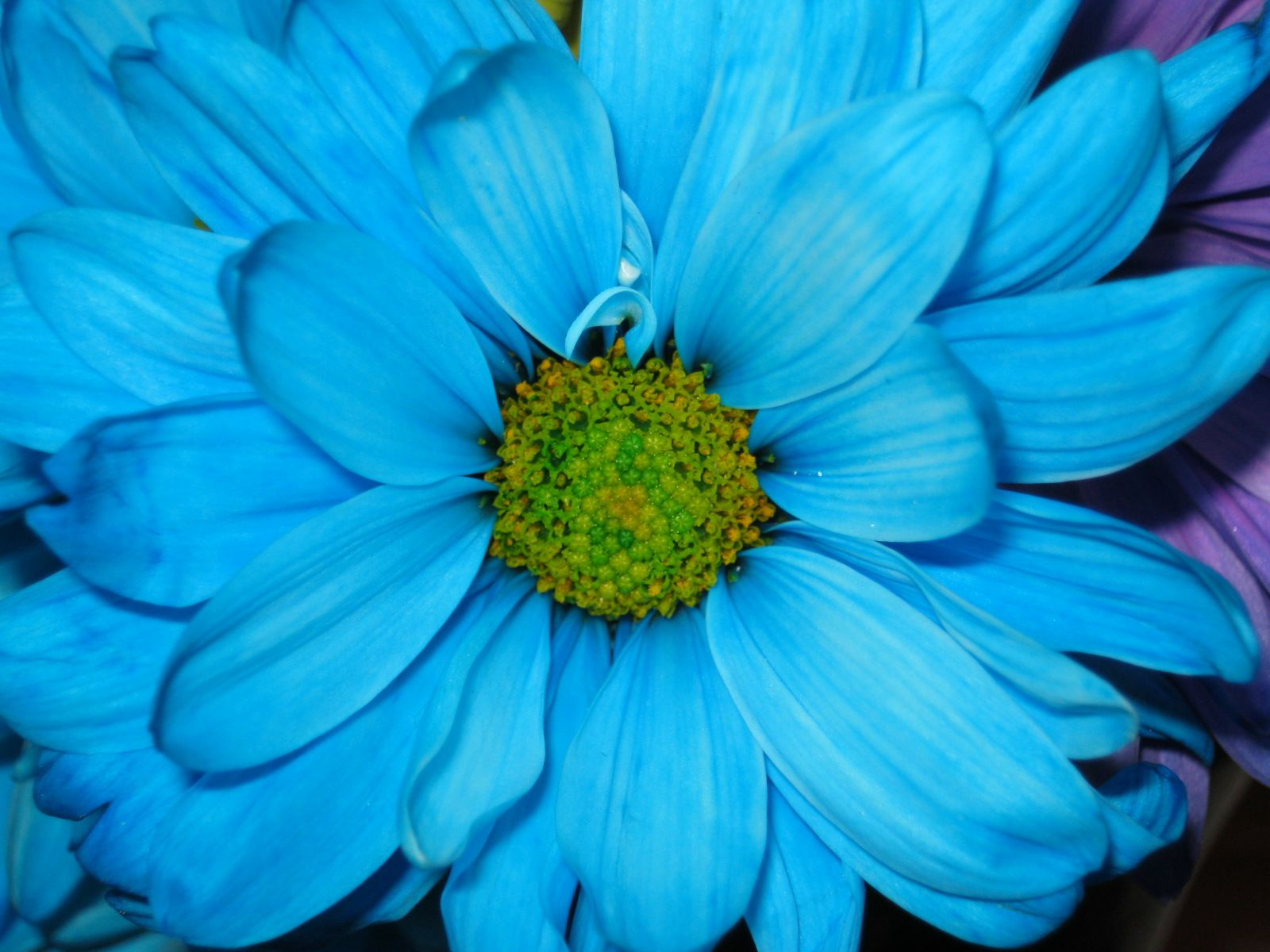 Bright Blue Flowers Wallpaper 1600x1200 7461