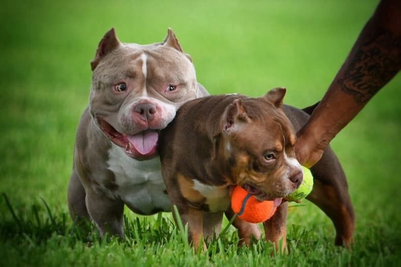 The Flashy Tri Color American Bully Puppies Of Venomline American Bully Kennels American Bully Pocket Bully
