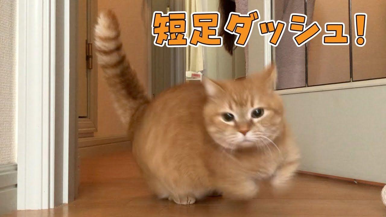 足 マンチカン の プリン 短 マンチカンの特徴と性格・飼い方・価格相場など|猫図鑑|ねこのきもちWEB MAGAZINE