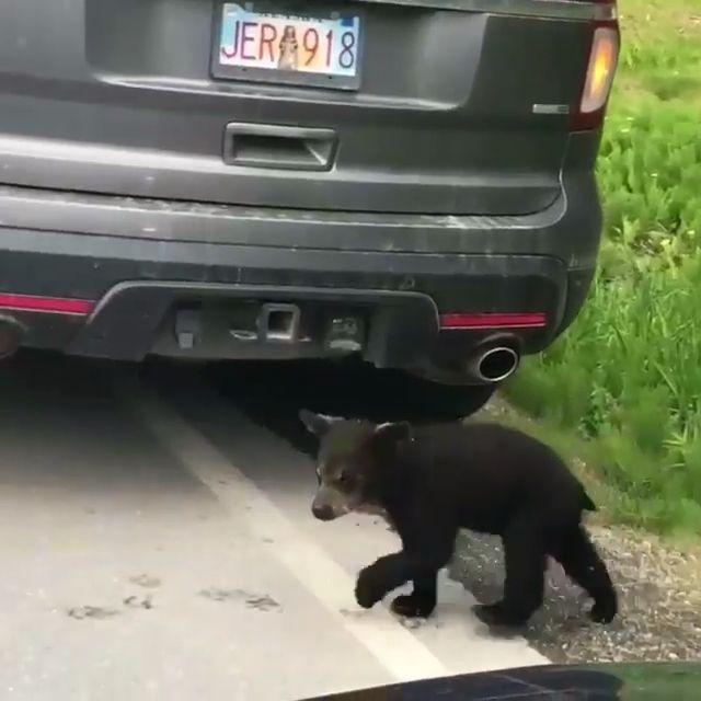 Cutest Bear Babis & Their Mother On Evening Walk  #bears